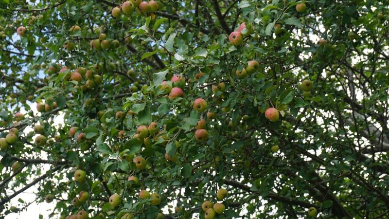 Apple tree at the top of Cold Mountain.