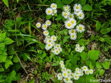 Erigeron Annuus or Eastern Daisy Fleabane